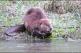 CREATURE FEATURE: Beavers, the engineers of nature