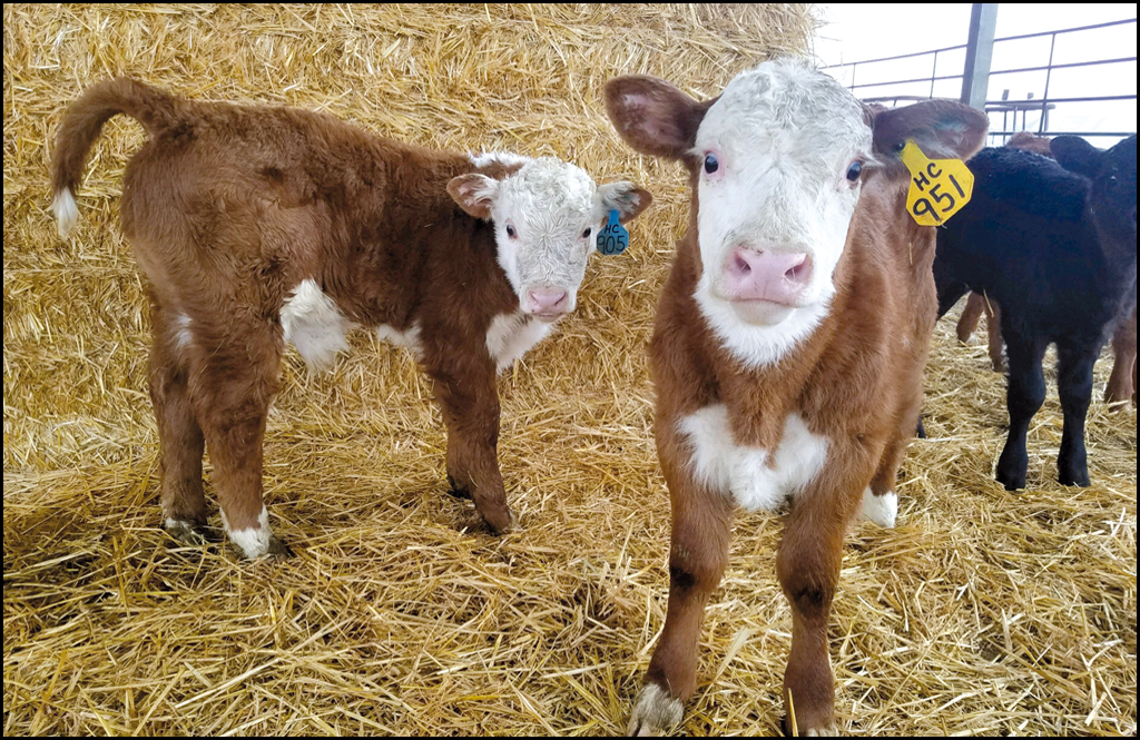 """For area cattle producers, calving """"season"""" is hectic, time-consuming and totally worth it"""