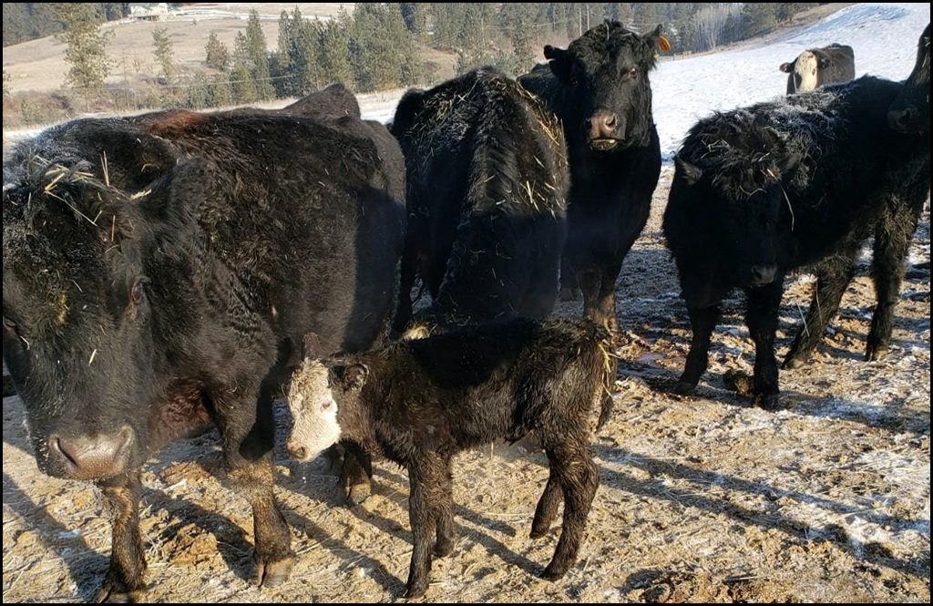 PHOTO GALLERY: Calving photos from our readers