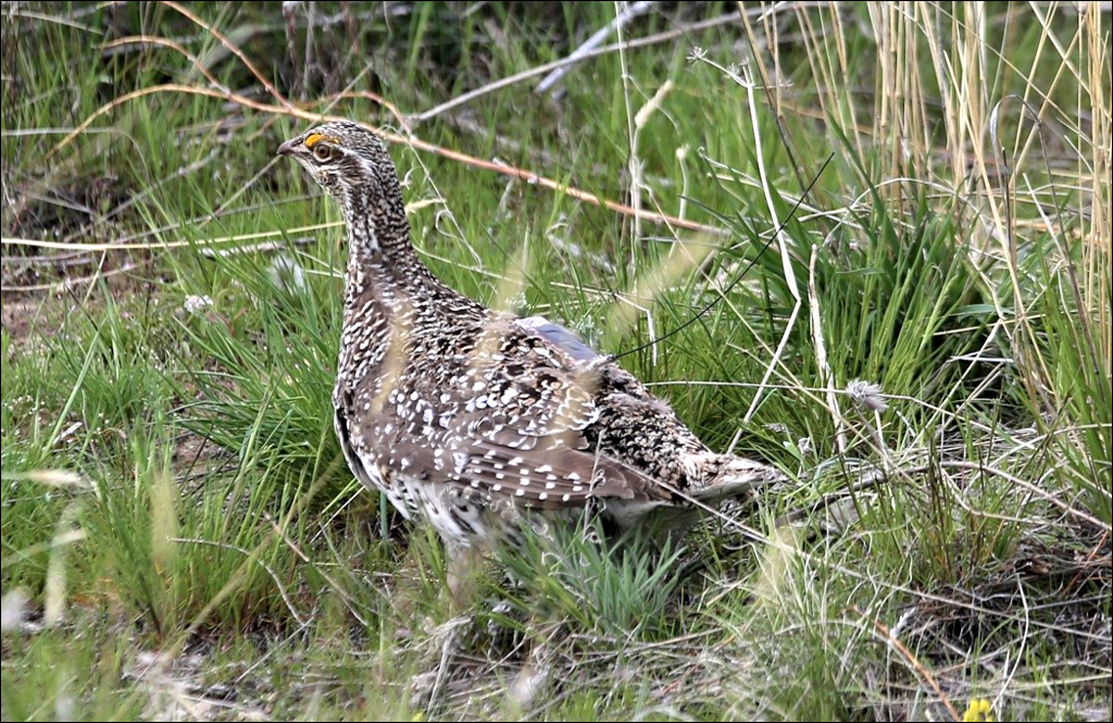 Partnership brings sharp-tailed grouse to Eastern Washington