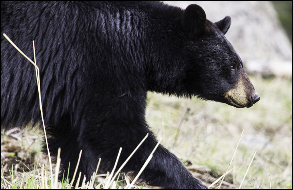 Spring black bear special hunt applications due Feb. 28