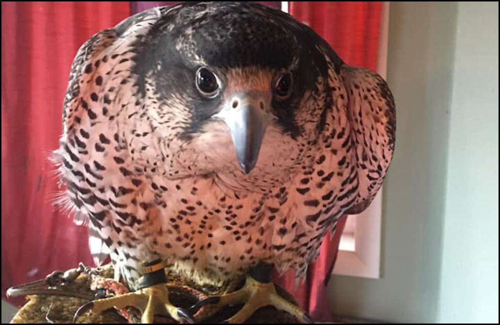 CHEWELAH PET OF THE DAY: Yeti, a three-year-old Falcon