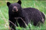 WILDLIFE: How many black bears in the U.S.? Over 300,000