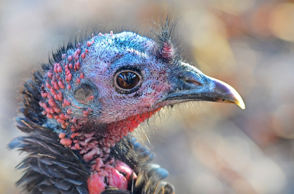 ASK WDFW: How to handle troubling turkeys
