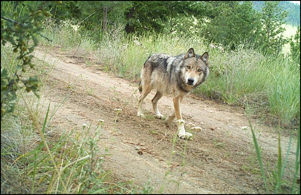 Threats from pro-wolf Facebook commenters caused WDFW to cancel meetings
