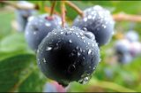 HUCKLEBERRIES: A Berry Good Time