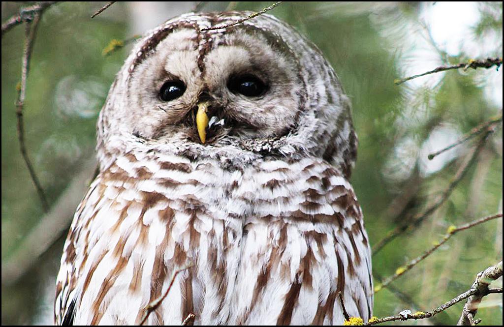 Owls in NE Washington are a hoot