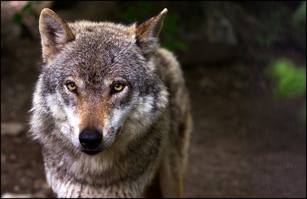 U.S. Fish and Wildlife Service to federally delist gray wolves
