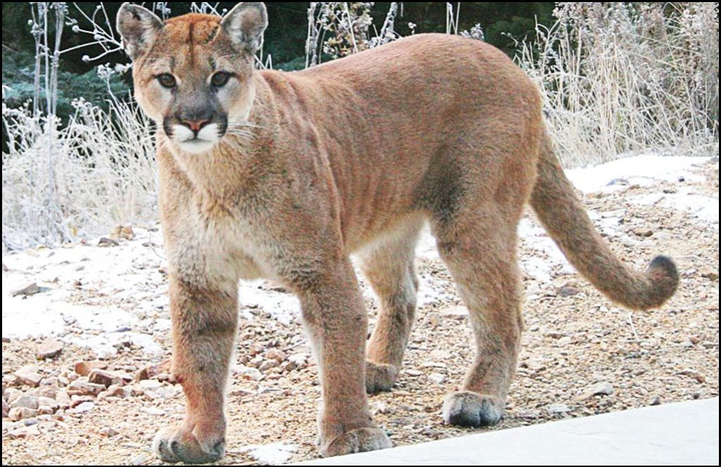 Lethal action taken on Cougar that injured Pend Oreille County resident
