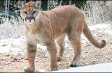 WDFW unveils four options to change cougar management