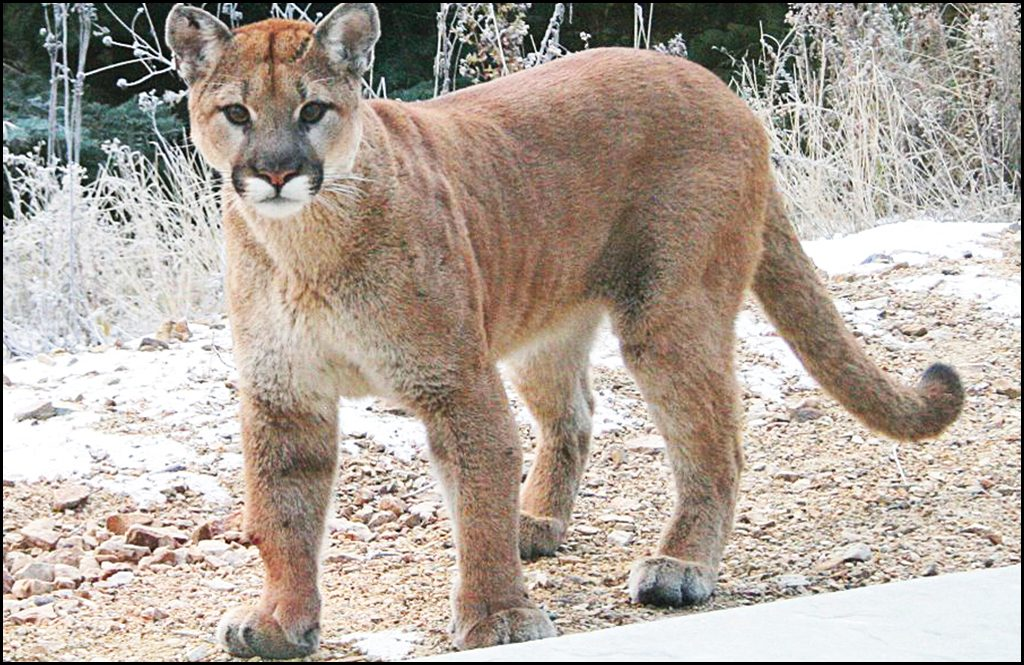 What to do if you encounter a cougar?