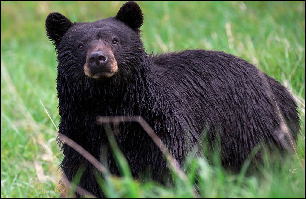 Bears frequenting Colville neighborhood, so don't feed them