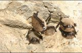 WDFW Question of the Week: Do we have white nose syndrome for bats in Washington?
